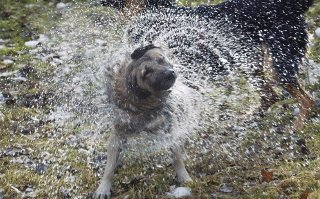 Wet dog shaking dry